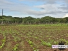 davidoff_cigars_fermentation_fields_dominican_013
