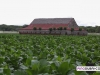 davidoff_cigars_fermentation_fields_dominican_023
