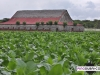 davidoff_cigars_fermentation_fields_dominican_027
